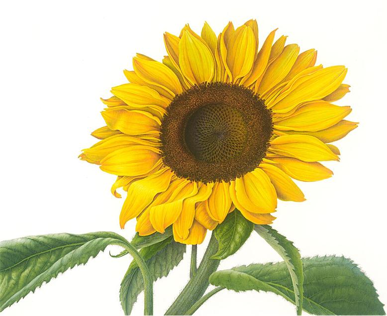 Susannah Blaxill Botanical Artist Sunflower